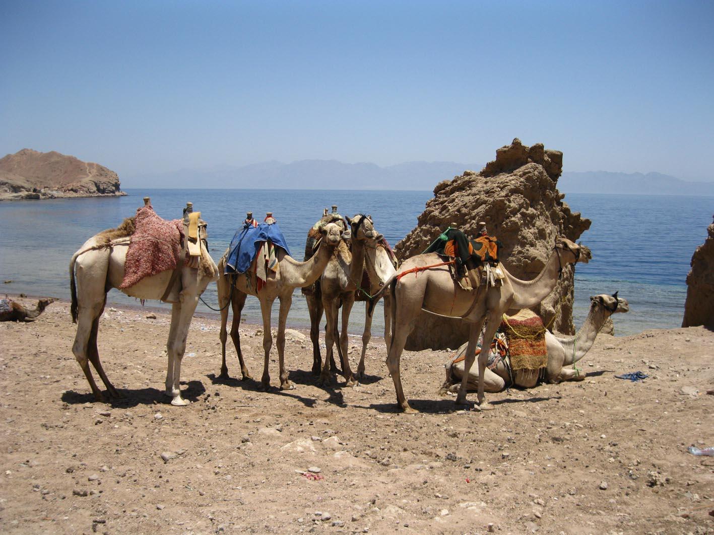 dahab camellos