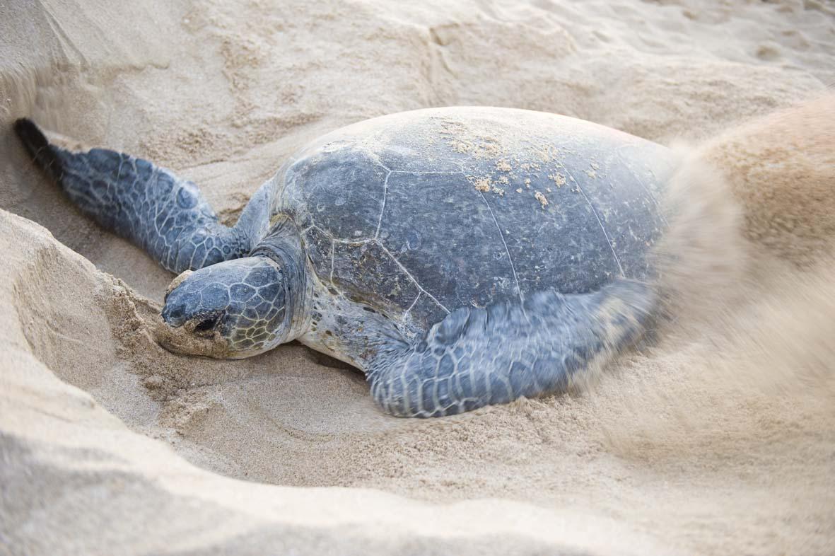 oman Ras Al Hadd (Turtle)